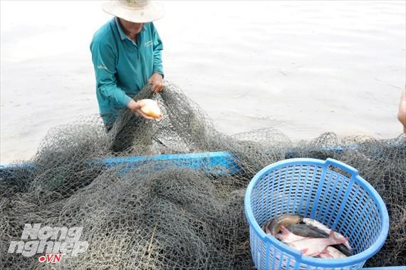 Cận cảnh nuôi cá ruộng mùa lũ ở miền Tây không cho ăn vẫn lớn như thổi - Ảnh 4.