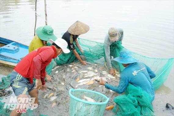 Cận cảnh nuôi cá ruộng mùa lũ ở miền Tây không cho ăn vẫn lớn như thổi - Ảnh 6.