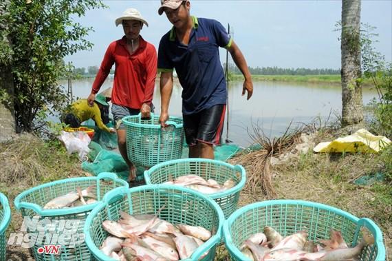 Cận cảnh nuôi cá ruộng mùa lũ ở miền Tây không cho ăn vẫn lớn như thổi - Ảnh 9.