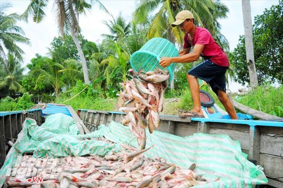 Cận cảnh nuôi cá ruộng mùa lũ ở miền Tây không cho ăn vẫn lớn như thổi - Ảnh 10.