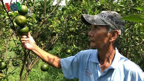 Giá cam sành liên tiếp sụt giảm, người trồng lỗ nặng - Ảnh 2.