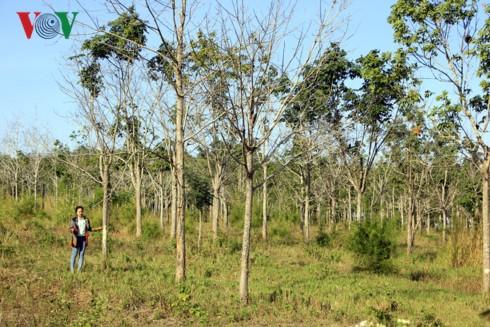 """Xé rào chuyển đổi đất rừng: Doanh nghiệp ở Gia Lai """"tiền trảm hậu tấu"""" - Ảnh 2."""