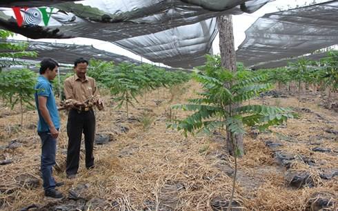 Bị lừa trồng gừng sạch, nhiều nông dân Gia Lai mất hàng trăm triệu - Ảnh 1.