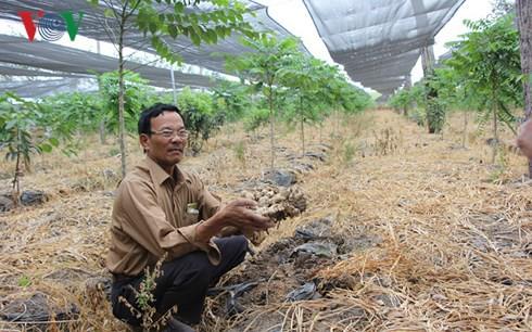 Bị lừa trồng gừng sạch, nhiều nông dân Gia Lai mất hàng trăm triệu - Ảnh 2.