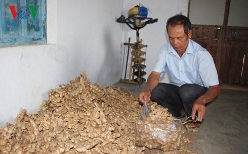 Bị lừa trồng gừng sạch, nhiều nông dân Gia Lai mất hàng trăm triệu - Ảnh 3.