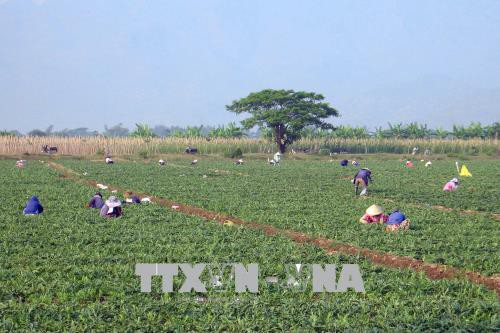 Dưa hấu được mùa, được giá, nông dân Ninh Thuận phấn khởi đón Tết - Ảnh 1.