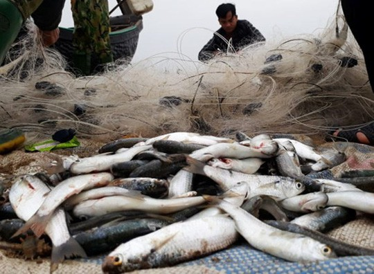 """Ngư dân Sầm Sơn trúng đậm """"lộc biển"""" ngày đầu năm mới - Ảnh 7."""