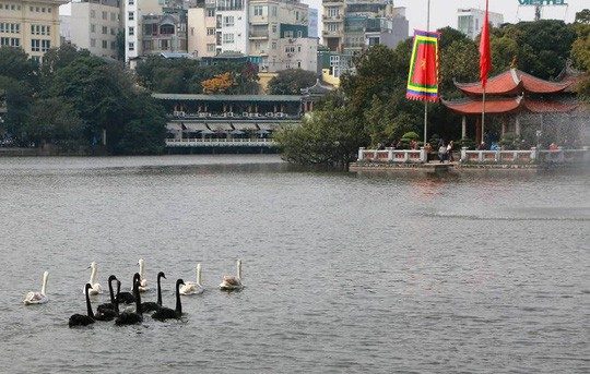 Cận cảnh đàn thiên nga giá 20 triệu đồng/con tại Hồ Gươm nhập từ nước ngoài - Ảnh 2.