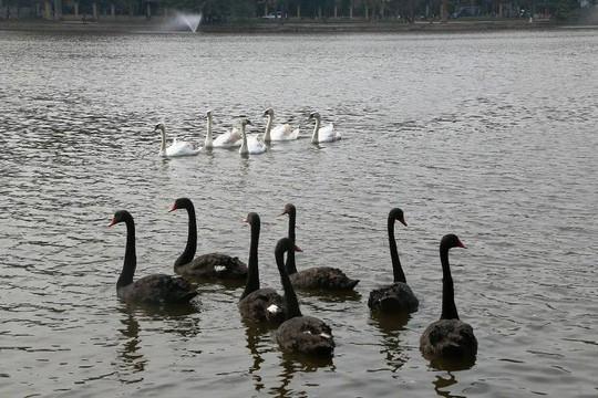 Cận cảnh đàn thiên nga giá 20 triệu đồng/con tại Hồ Gươm nhập từ nước ngoài - Ảnh 3.