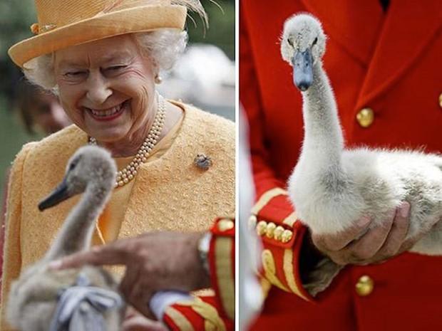 Anh: Ô tô cũng phải lùi bước trước thiên nga - loài chim quốc gia được chính Nữ hoàng bảo hộ - Ảnh 1.