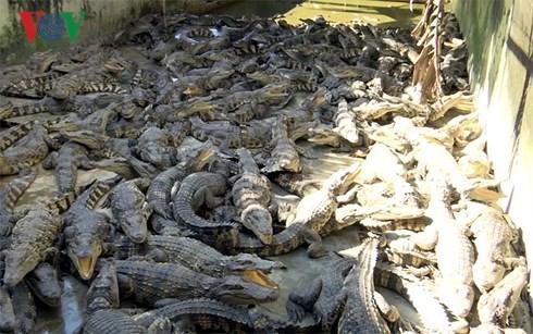 Giá cá sấu tăng mạnh trở lại - Ảnh 1.