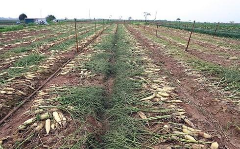 Tình trạng đổ bỏ nông sản, Bộ NN&PTNT yêu cầu báo cáo trước 19/3 - Ảnh 1.