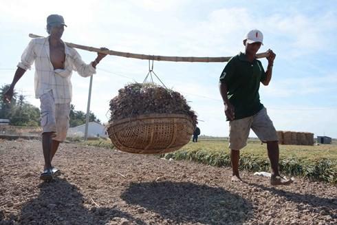 Hành tím Sóc Trăng lại mất giá, nông dân lỗ vốn - Ảnh 1.
