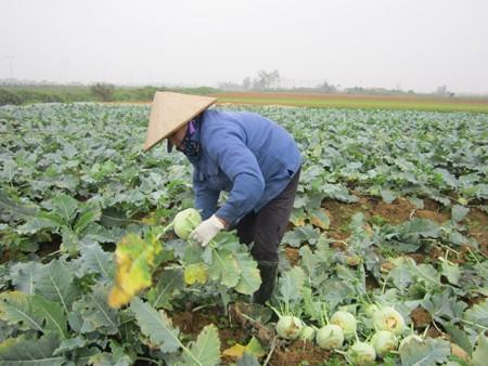 Giá rau xanh giảm mạnh sau Tết, người trồng rau lỗ nặng - Ảnh 1.