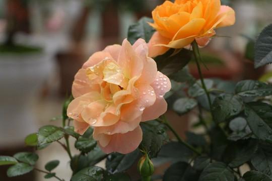 Ngắm 1.000 cây hoa hồng khoe sắc, tỏa hương Ngày quốc tế phụ nữ - Ảnh 14.