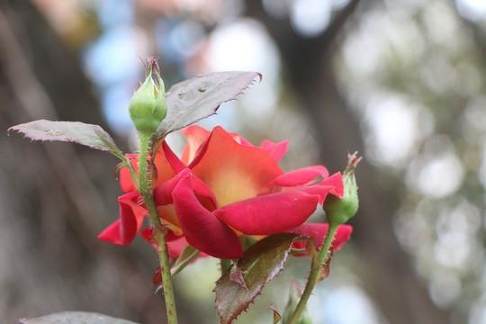 Ngắm 1.000 cây hoa hồng khoe sắc, tỏa hương Ngày quốc tế phụ nữ - Ảnh 16.