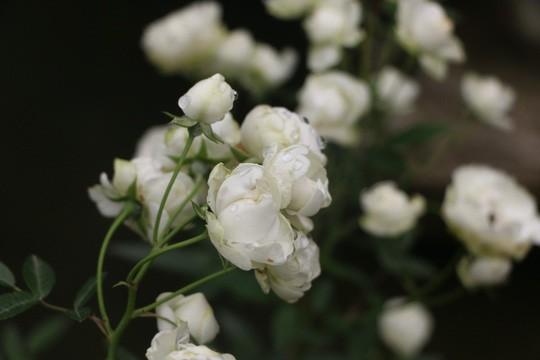 Ngắm 1.000 cây hoa hồng khoe sắc, tỏa hương Ngày quốc tế phụ nữ - Ảnh 17.