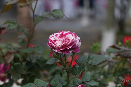 Ngắm 1.000 cây hoa hồng khoe sắc, tỏa hương Ngày quốc tế phụ nữ - Ảnh 20.