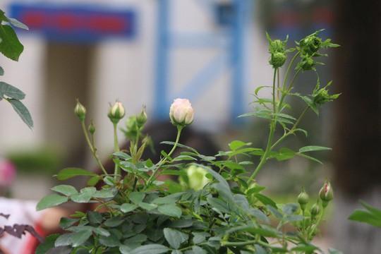 Ngắm 1.000 cây hoa hồng khoe sắc, tỏa hương Ngày quốc tế phụ nữ - Ảnh 21.