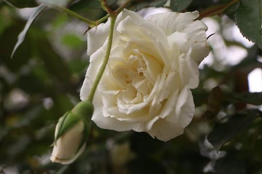 Ngắm 1.000 cây hoa hồng khoe sắc, tỏa hương Ngày quốc tế phụ nữ - Ảnh 7.