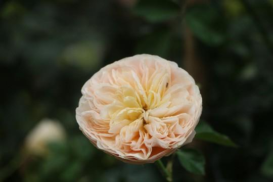 Ngắm 1.000 cây hoa hồng khoe sắc, tỏa hương Ngày quốc tế phụ nữ - Ảnh 8.