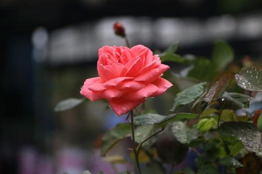 Ngắm 1.000 cây hoa hồng khoe sắc, tỏa hương Ngày quốc tế phụ nữ - Ảnh 9.