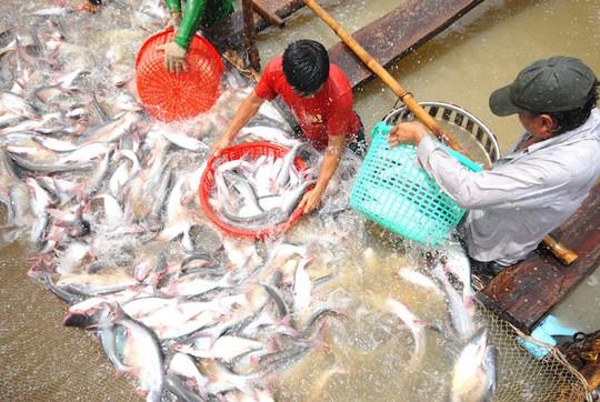 Xuất khẩu cá tra sang Trung Quốc sẽ khắt khe hơn - Ảnh 2.