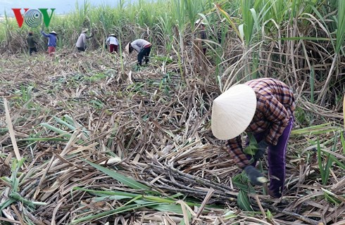 Mía Phú Yên rớt giá, tiêu thụ chậm - Ảnh 1.