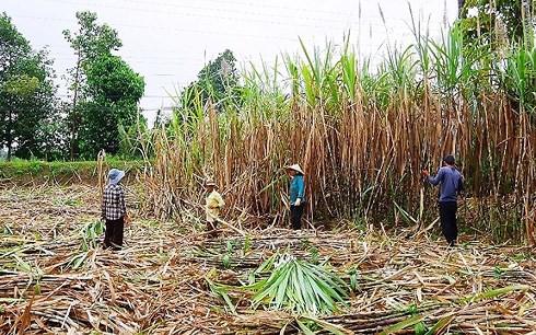 Người dân Ninh Thuận phá bỏ cây mía vì lợi nhuận thấp - Ảnh 1.