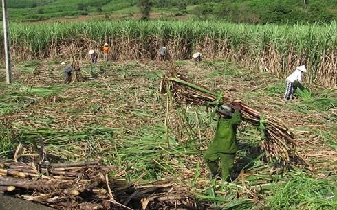 Người dân Ninh Thuận phá bỏ cây mía vì lợi nhuận thấp - Ảnh 2.