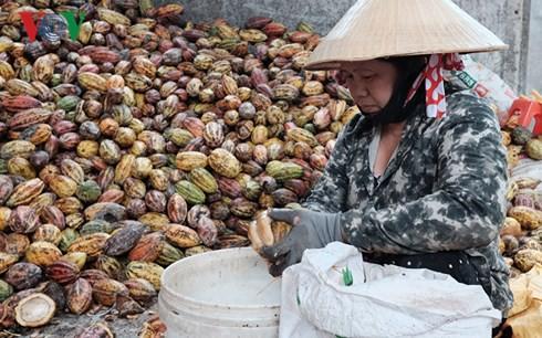 """Cây ca cao Đồng Nai """"hồi sinh"""" nhờ cánh đồng lớn - Ảnh 1."""