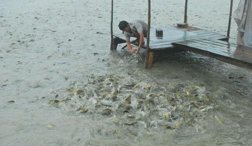 Ồ ạt thả nuôi cá tra ở ĐBSCL - Ảnh 1.
