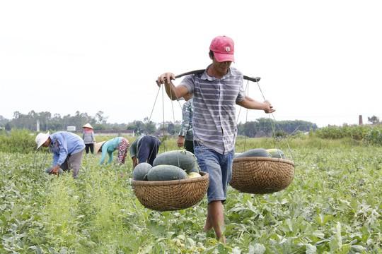 Quảng Nam kêu gọi công viên chức giải cứu 1.300 tấn dưa hấu - Ảnh 1.