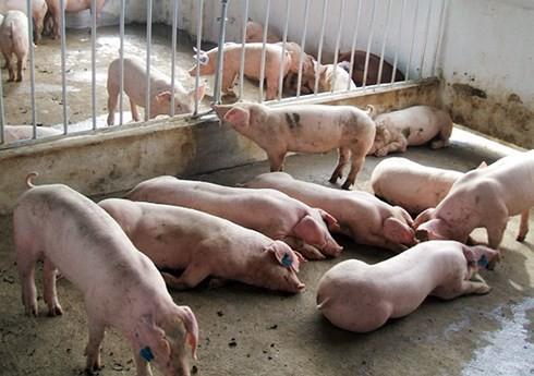 Tái đàn lợn ồ ạt sẽ dẫn đến mất cân đối cung cầu - Ảnh 1.