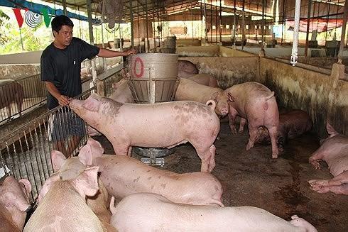 """Giá lợn vọt tăng, người nuôi tiếc vì """"lợn không, chuồng trống"""" - Ảnh 2."""
