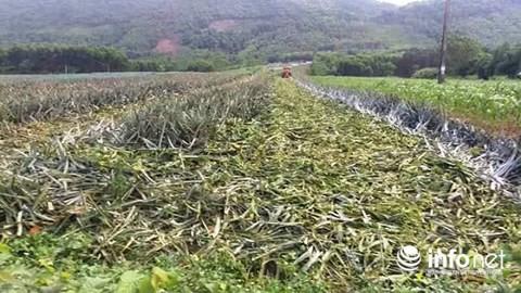 Thanh Hóa: Dứa rẻ như cho, người nông dân bỏ thối đầy đồng - Ảnh 4.