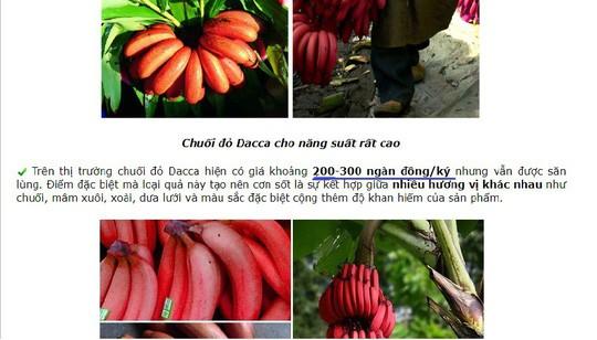 Thực hư về loại chuối đỏ 300.000 đồng/kg - Ảnh 1.