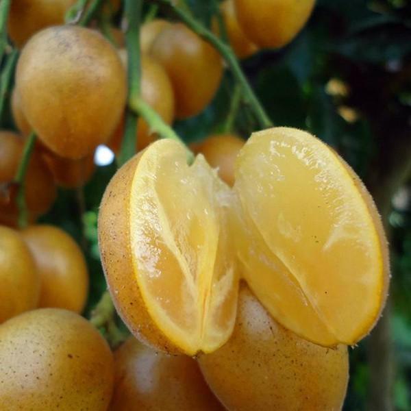 Quất hồng bì: Vua trái cây mùa hè được săn lùng vì sở hữu những chất dinh dưỡng hiếm có - Ảnh 2.