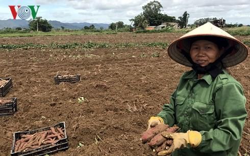 Khoai lang Nhật rớt giá khiến người trồng khốn đốn - Ảnh 1.