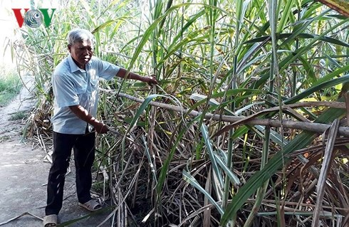 Thu cả chục triệu đồng mỗi sào, thoát nghèo nhờ trồng mía - Ảnh 2.
