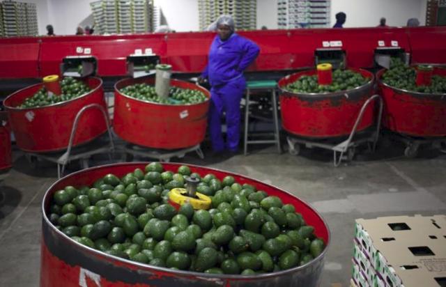 Bơ - loại quả bình thường ở Việt Nam nhưng được xem như vàng ở Nam Phi, mang tới sự đổi đời cho cả một quốc gia - Ảnh 1.