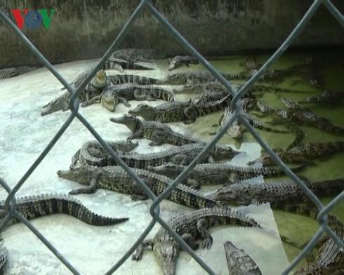 Giá cá sấu thương phẩm tăng cao, người dân tập trung tái đàn - Ảnh 1.