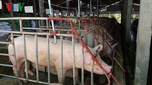Giá lợn ở Tiền Giang tăng kỉ lục, người nuôi lãi lớn - Ảnh 1.