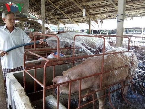 Giá lợn ở Tiền Giang tăng kỉ lục, người nuôi lãi lớn - Ảnh 2.
