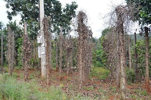Hàng trăm ha tiêu ở Phú Yên bị bệnh chết nhanh, chết chậm - Ảnh 1.