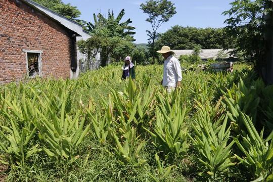 Hơn 100 tấn nghệ của nông dân Quảng Nam cần giải cứu - Ảnh 1.