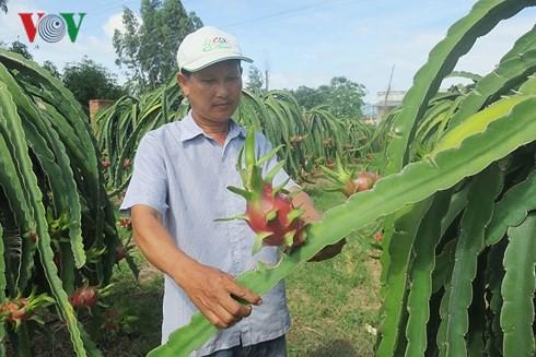 Thanh long Bình Thuận đột ngột tăng giá nhờ dịp Trung thu  - Ảnh 1.