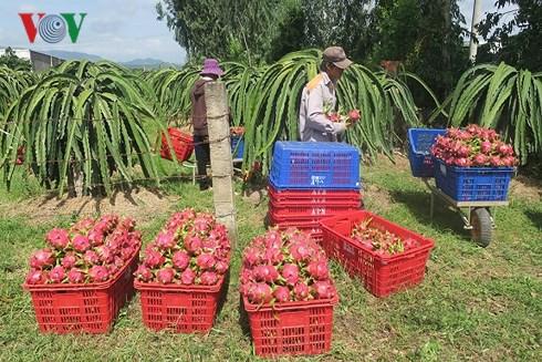 Thanh long Bình Thuận đột ngột tăng giá nhờ dịp Trung thu  - Ảnh 2.