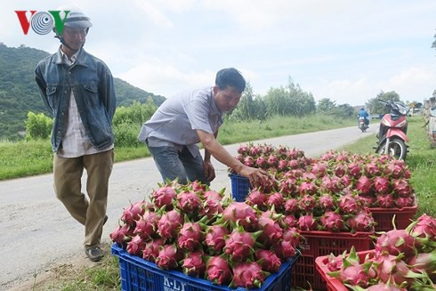 Thanh long Bình Thuận đột ngột tăng giá nhờ dịp Trung thu  - Ảnh 3.
