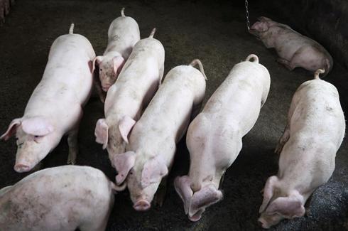 Trung Quốc: Công tác đối phó dịch tả lợn châu Phi phức tạp và đầy thử thách - Ảnh 1.